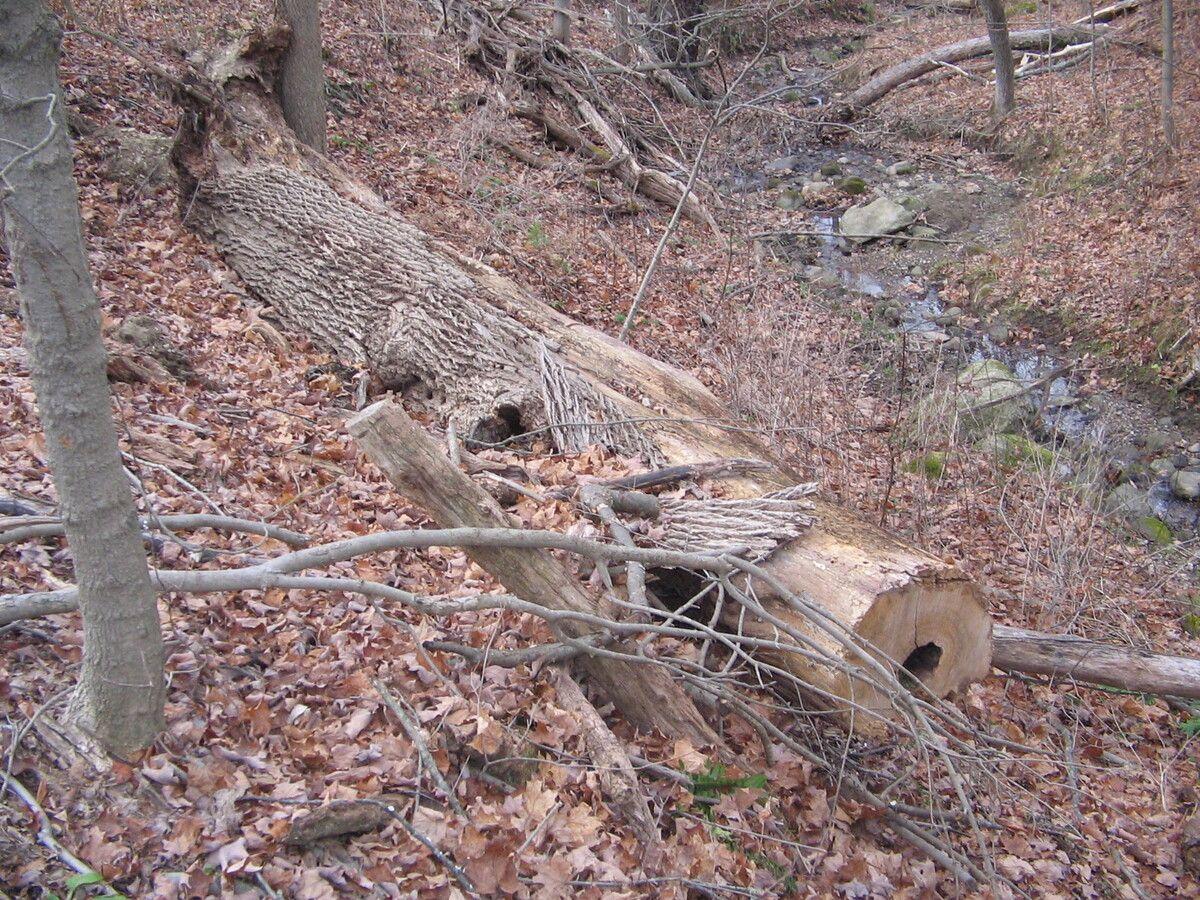 Dead Ash Tree 001.jpg