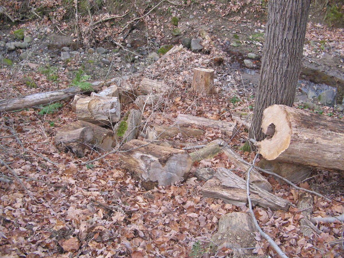 Dead Ash Tree 002.jpg