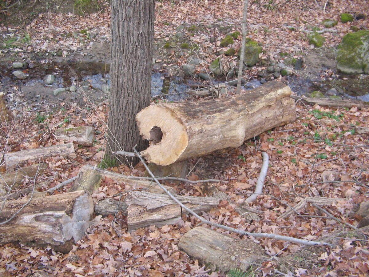 Dead Ash Tree 003.jpg