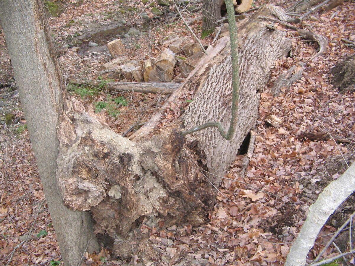 Dead Ash Tree 004.jpg