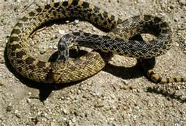 gopher snake 2.jpg