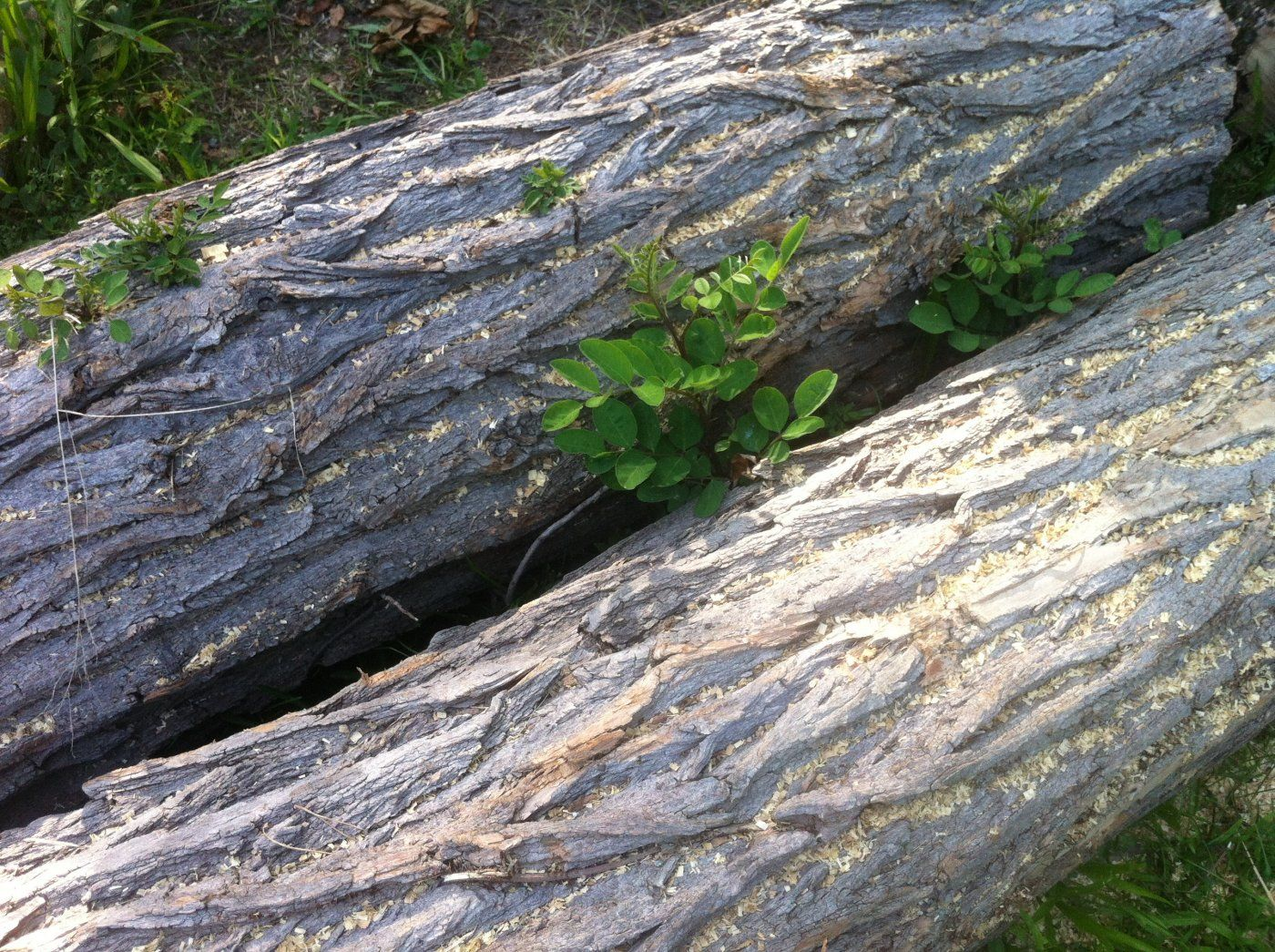 My black locust logs are growing ears hearth forums