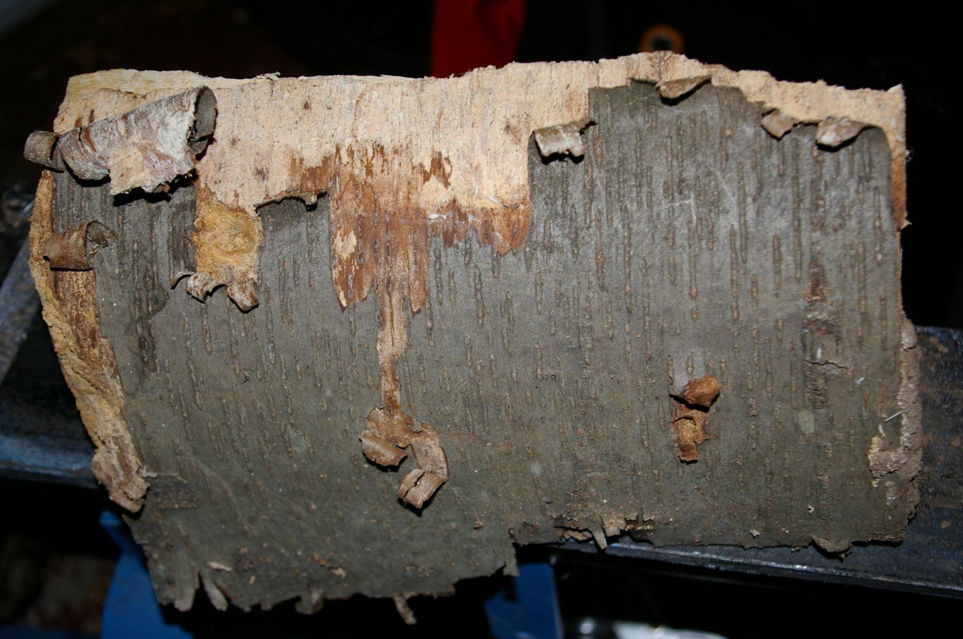 Wood ID please- need t... What Prunus Serotina Bark Look Like