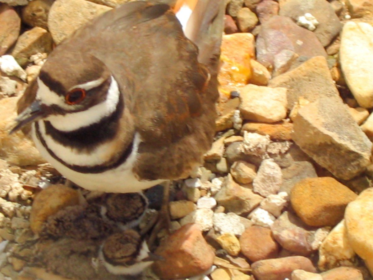 Killdeer on 2 chicks.jpg