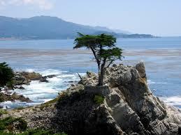 lone cypress.jpg