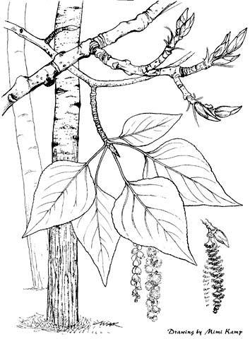 Populus_balsamifera.jpg