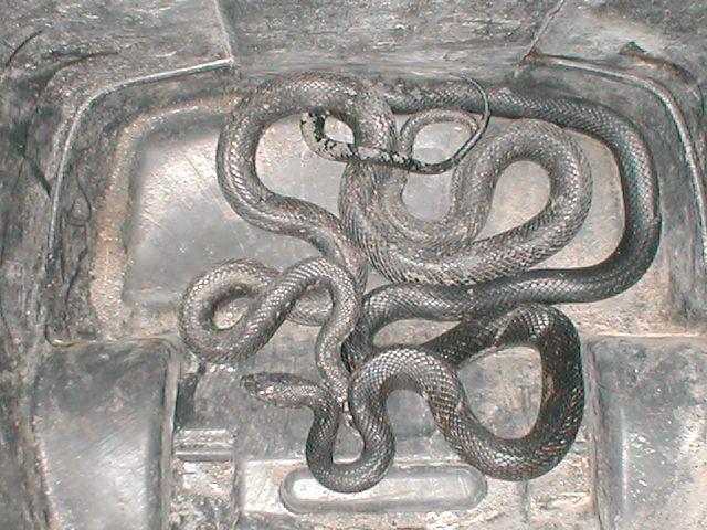 Snakes 6-15-08.JPG
