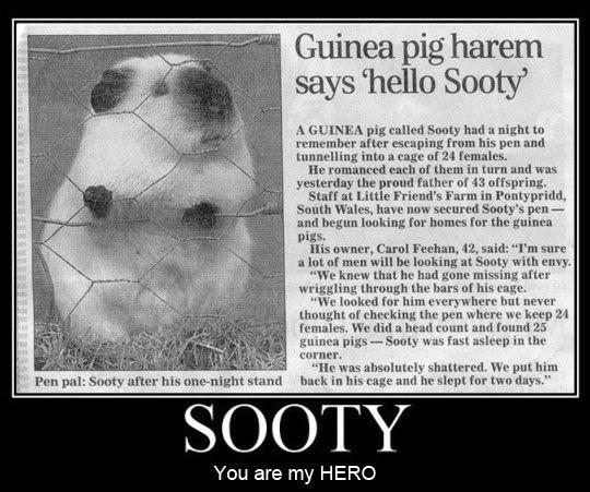 sooty-guinea-pig-harem.jpg