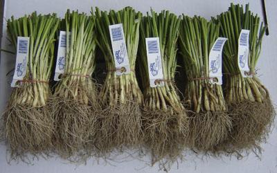 sweet-onion6.jpg