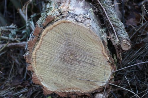 yellowfirewood.JPG