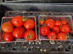 tomatoes-last-harvest.jpg