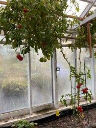 eg-tomato.jpg
