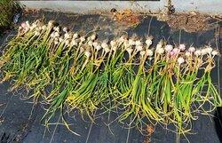 softneck-garlic.jpg